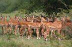 Impalas in Serengeti